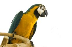 Parrot on a stand Stock Photography