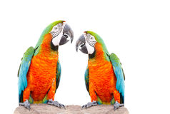 Parrot standing on dry tree isolated Royalty Free Stock Photos