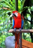 Parrot standing on wooden pole Royalty Free Stock Image
