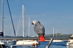 Parrot on summer vacation Royalty Free Stock Image