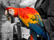Parrot Take Deserved Bucks. The Parrot knows that today gave Joy and Fun at all the people in ecstasy for the colorful feathers Royalty Free Stock Photography
