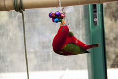 Parrot with toy Royalty Free Stock Photo