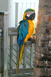 Parrot by tree. A blue and yellow parrot next to a tree in Key West, Florida Royalty Free Stock Images