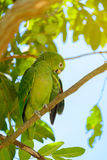 The parrot on tree. Stock Photo