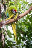 Parrot in a Tree Royalty Free Stock Image