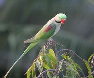 Parrot on Tree Top Royalty Free Stock Photography