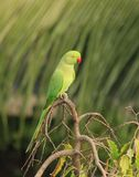 Parrot on Tree top Royalty Free Stock Image