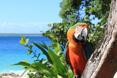 Parrot on tropical beach. Closeup of a colorful parrot on a tropical beach Royalty Free Stock Images