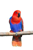 Parrot on truck Royalty Free Stock Photo