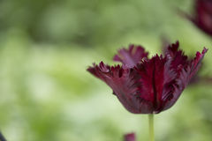 Parrot Tulip Stock Photography
