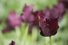 Parrot tulip. Black parrot tulips in a flowerbed Stock Photography