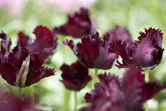 Parrot tulip. Black parrot tulips in a flowerbed Stock Image