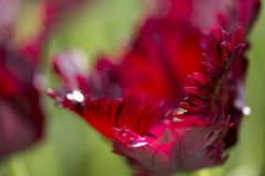 Parrot tulip. Close up of black parrot tulip Royalty Free Stock Images
