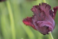 Parrot tulip. Close up of black parrot tulip Stock Images