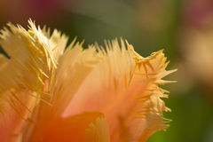 Parrot tulip Royalty Free Stock Photography