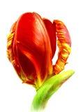 Parrot tulip Stock Photos
