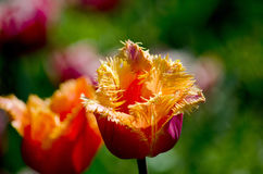 Parrot tulips glow in the sun Royalty Free Stock Photos
