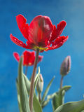 Parrot tulips Royalty Free Stock Photo
