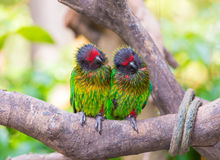 Parrot twin Royalty Free Stock Image