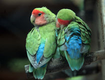 Parrot. Two parrots are falling in love Stock Photography