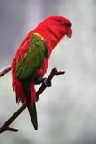 The parrot  3. Very beautiful feathers.This parrot value sum Stock Photo