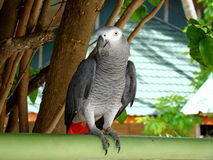 Parrot in Vilamendhoo, Maldives Royalty Free Stock Photography
