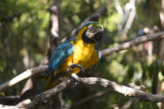 Parrot walking on a branch. Yellow and blue parrot walking on a branch royalty free stock images
