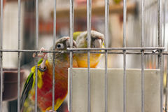 Parrot want to escape Stock Photo