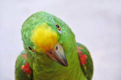 Parrot - watching in your eyes Royalty Free Stock Images
