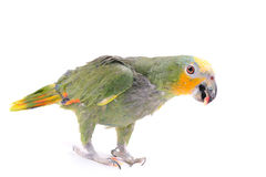 Parrot on the white background Royalty Free Stock Photography