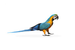 The parrot Royalty Free Stock Images