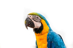 Parrot on white background Stock Images