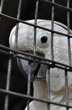 Parrot. White and clean feather, pure soul Royalty Free Stock Photo