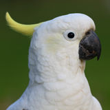 Parrot white head. White bird parrot cockatoo head profile with green background portrait format Stock Image
