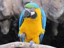 Parrot wiggle. A beautiful image of the beautiful parrot while having fun. A cocaktoos parrot Stock Photos