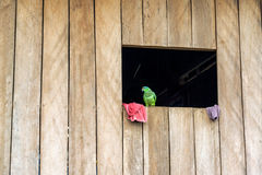Parrot in a Window. Green parrot in a wooden of a wooden shack of the Belen neighborhood of Iquitos, Peru stock images