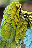 Parrot wing. A detailed image of a colorful spread parrots wing Royalty Free Stock Photo