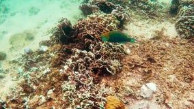 Parrot wish swimming underwater. In Siam Gulf stock video