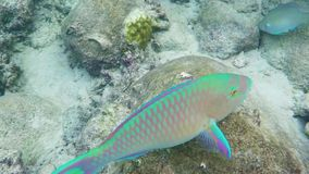 Parrot wish swimming underwater. In Siam Gulf stock footage
