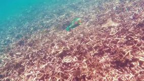 Parrot wish swimming underwater. In Siam Gulf stock video footage
