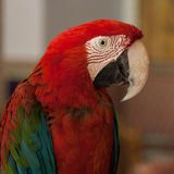 Parrot, yazd, iran Royalty Free Stock Photos