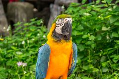 Parrot yellow and blue color macaw. Colorful yellow parrot macaw on the tree in Bangkok, Thailand Stock Image