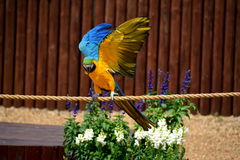 Parrot yellow blue. Vibrant, exotic, wings, beautiful colorful parrot tame, staring zoo fun, beauty color rather interesting color, nature, beak, bright yellow Stock Photography
