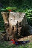 parrotand rosella Στοκ Εικόνες