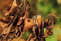 Parrotbill Grey-headed image libre de droits