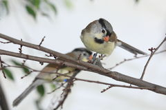 Parrotbill Grey-headed Photos stock