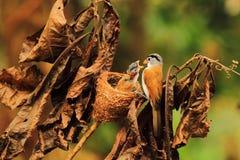 Parrotbill Grey-headed immagine stock libera da diritti