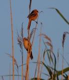 Parrotbills barbuti all'indicatore luminoso caldo di alba Fotografie Stock