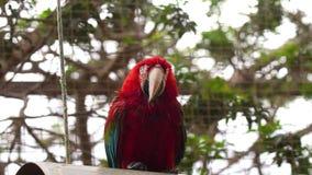 Parrotclose Ara вверх видеоматериал