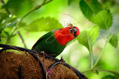 Parrotfinch Royalty Free Stock Photography